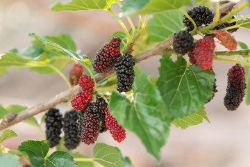 Fresh mulberry , black ripe and red unripe mulberries on the branch.