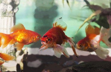 Goldfish in home aquarium