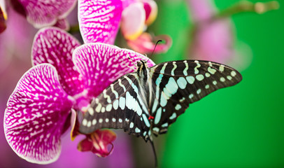 Parthenos sylvia butterfly on beautiful pink orchid flower