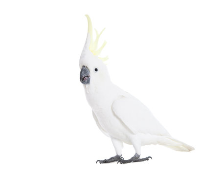 A Cockatoo showing its yellow crest, on white.