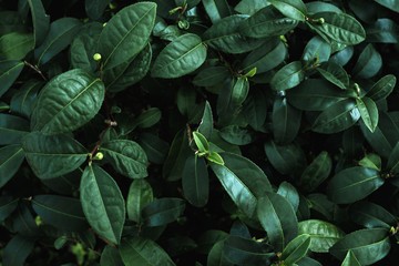 Wall Mural - Green leaves of plant in color tone dark. Green nature background concept