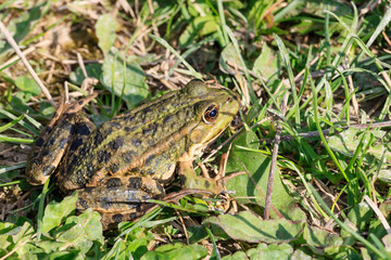 Frog sits in the green grass on the shore of the pond on a sunny day