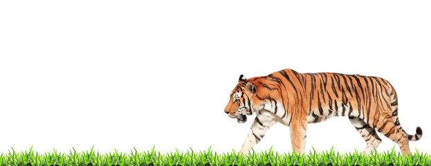 Horizontal banner with walking tiger and green grass