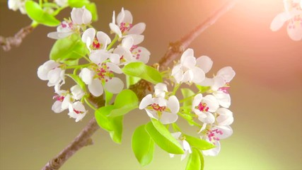 Fotoväggar - Pear tree flowers blooming closeup. Gardening concept. Blossoming pear tree. Time lapse. 4K UHD video 3840X2160