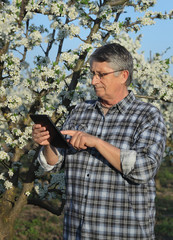 Farmer or agronomist inspecting blossoming plum orchard using tablet