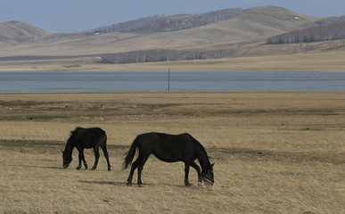 Horses graze in a steppe outside the Siberian village of Intikul