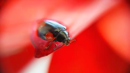 ladybug on flower. Spring season