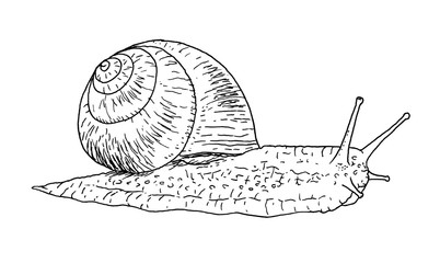 Drawing of snail - hand sketch, black and white illustration