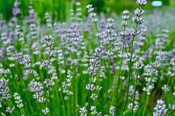 Lavender Spring Flower
