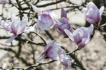 Pink magnolia flowers.
