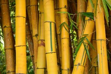 brasilian bamboo green and yellow