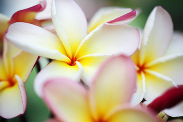 beautiful yellow-white frangiapani flower background.