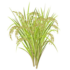 Rice (Oryza sativa, Asian rice). Realistic vector illustration of rice panicles isolated on white background.