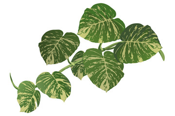 Tropical vine (Epipremnum aureum) with variegated leaves, realistic vector illustration.