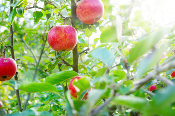 Ripe apples on the Apple tree in the sunshine