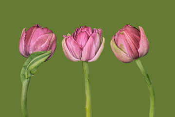 Three tulips on plain background, pink and green