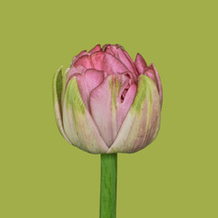 Tulip on plain background, pink and green