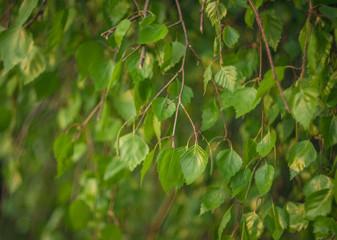 gałązki brzozy