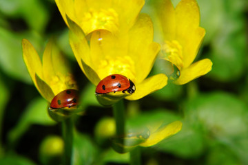 Close-up view of ladybird on yellow buttercup