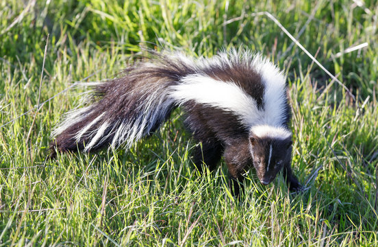 Striped Skunk (Mephitis mephitis) looking in alert. Skunk standing and looking suspiciously. Santa Clara County, California, USA.