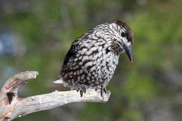 Bird nutcracker sitting on the dry twig of pine