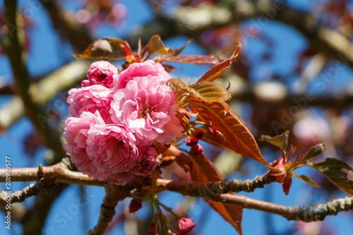 Fleurs De Cerisier Japonais Stock Photo And Royalty Free Images On