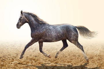 A gray horse trotting across the sand.