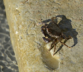 Invisible crab is an amazing specimen. Its uniqueness is that it is almost impossible to find among algae. Thin and leggy creature-a real master of disguise is on the beach on the rock.