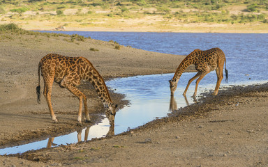 Crouching for Water - Two Masai Giraffes, an adult and a calf,  crouch to reach the water surface for a quenching drink from a pond. Ndutu, Ngorongoro Conservation Area, Tanzania, Africa.