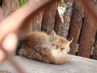 Red Fox curled up and sleeping in a cage covered with a fluffy tail.