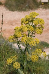 Yellow blooming wild fennel at the Mediterranean Sea, Malta