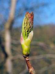 the budding leaf of a sycamore tree in april