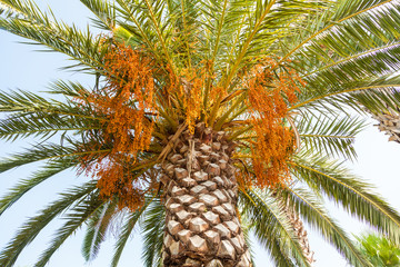 Palm tree with orange fruit in Marmaris