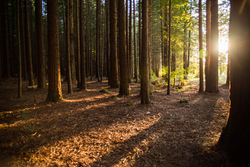 Redwoods forest with the sun shining through in Rotorua, New Zealand.