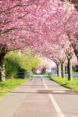 Kirschblüte - Sakura mit Radweg