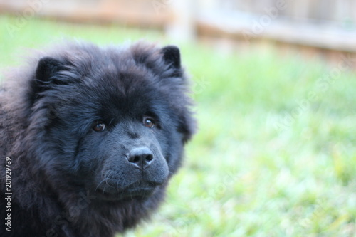 Black Chow Chow Puppy Dog Stock Photo And Royalty Free Images On