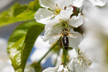 bee and cherry blossoms