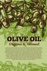 Vector olives bunch poster for olive oil