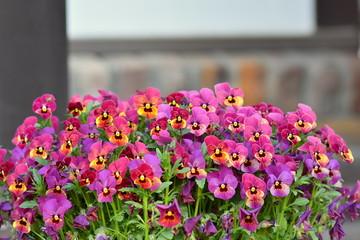 紫色のビオラの花