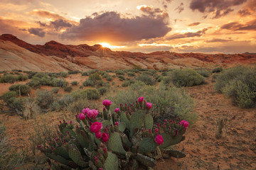 Foto op Plexiglas Zalm Sunset with cactus flower in Valley of Fire, Nevada, USA.