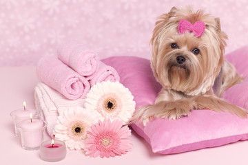 Yorkshire terrier lying on pillows at the grooming salon spa