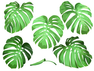 Vector set of isolated leaves tropical plant monstera.