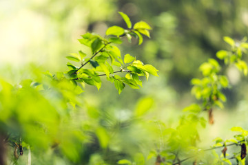Spring green young leaves with shallow depth of field and a copy space.