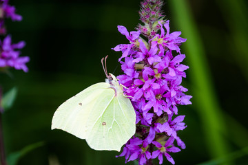 Cabbage white butterfly on a flower