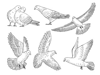 Hand drawn pictures of pigeons at different poses