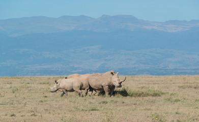 Poster Rhino White Rhino