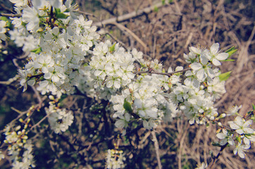 a branch of blooming wild cherry