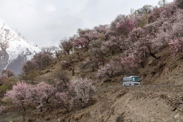 Travelling in spring season, tourist bus driving on country road with sideways full of cherry blossom tree at Nakar valley in Pakistan