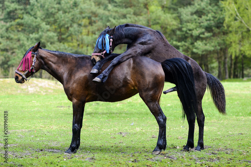 Horses having sex on the meadow. Stock photo and royalty