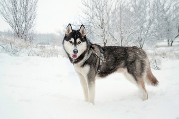 Siberian husky stands in the middle of field. Dog is walking in the park in winter.